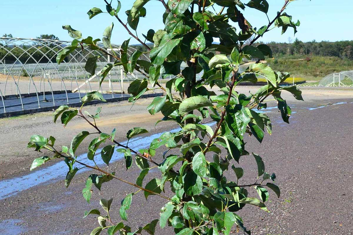 Fruit Tree Nursery