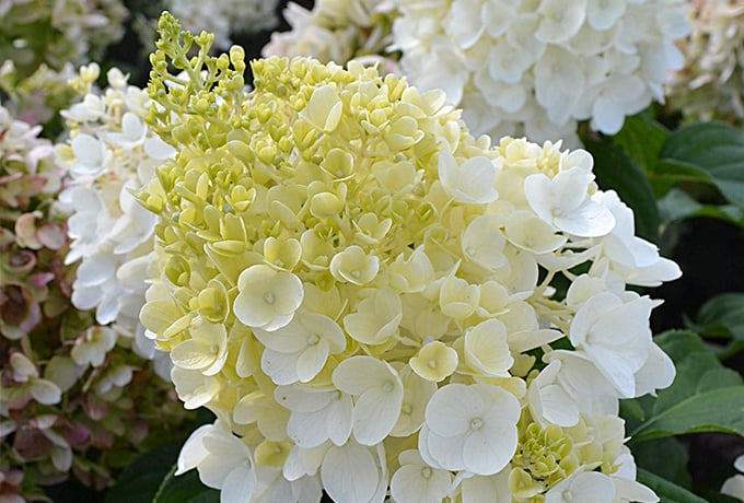 Northern Family Farms Wholesale Hydrangea