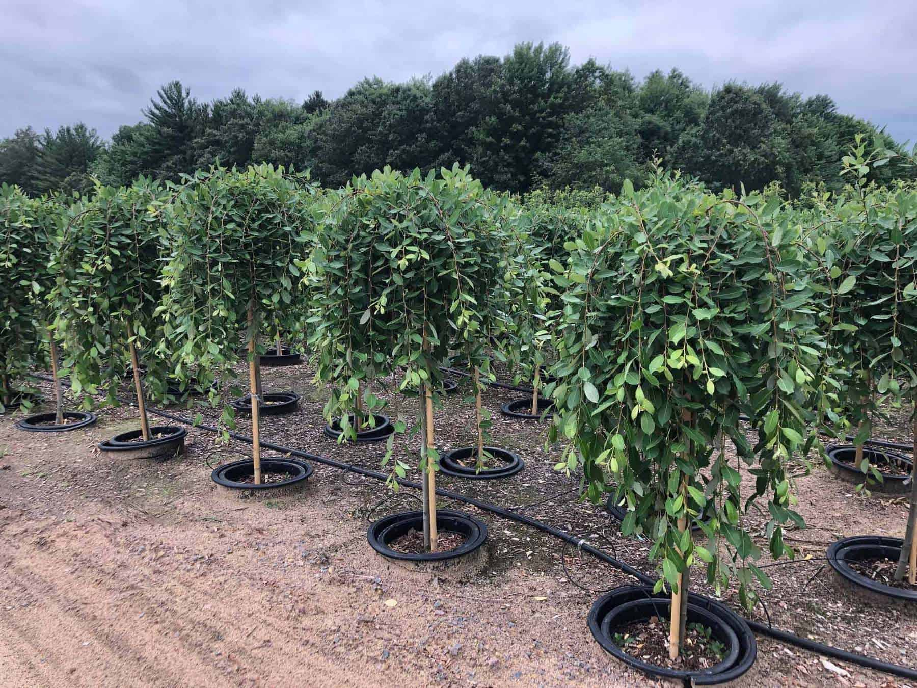 Wholesale Trees For Sale