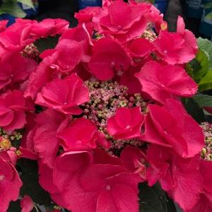Cherry Nursery Plants Wholesale