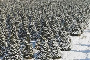 Fresh Christmas Fir Trees