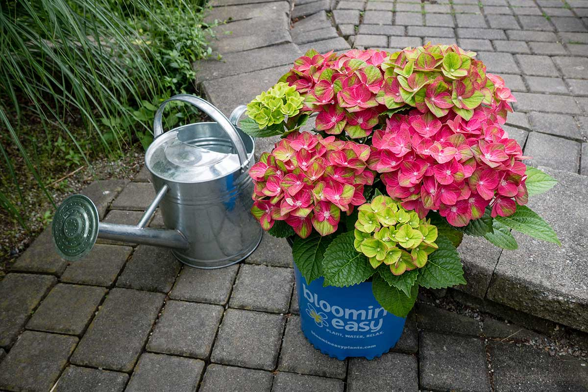 Wholesale Hydrangea - Northern Family Farms
