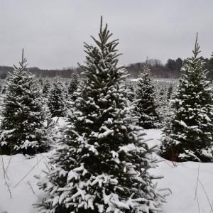 Northern Christmas Trees in Merrillan WI