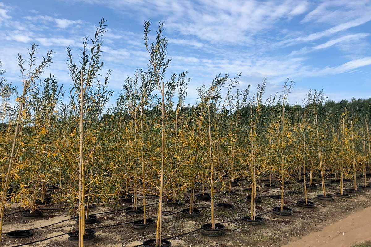 Shade Tree Nursery Wholesale